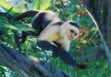 Colombian White-Faced Capuchin Monkey