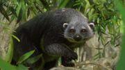 Southeast Asia Animal Pack - Binturong 01a